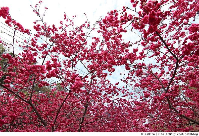 2015台中賞櫻 新社 大南坡 櫻花秘境 129縣道 櫻木花道18