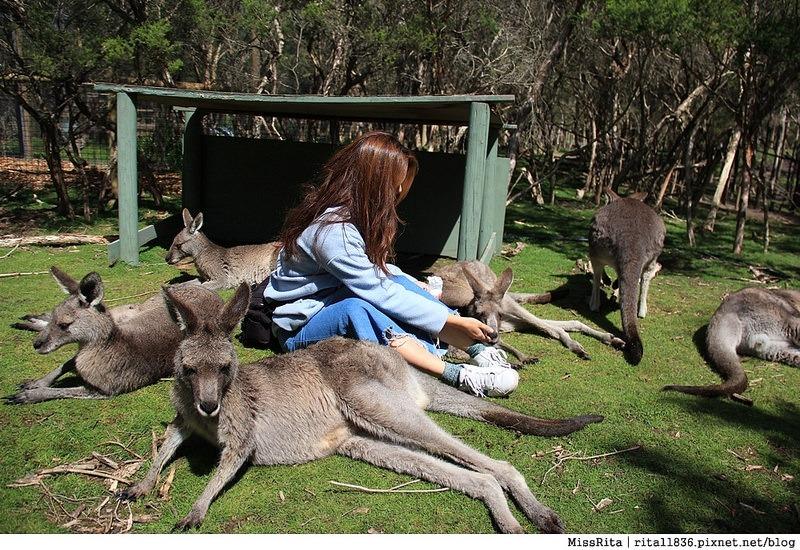 KKDAY 墨爾本自由行 melbourne gowesttours kkDAY墨爾本 墨爾本企鵝 澳洲自助 墨爾本自助 菲利浦島 菲利浦島交通 墨爾本必去 墨爾本酒莊 月光野生動物 Nobbies 墨爾本企鵝歸巢 墨爾本一日遊 菲利普島一日遊,小企鵝歸巢遊行61