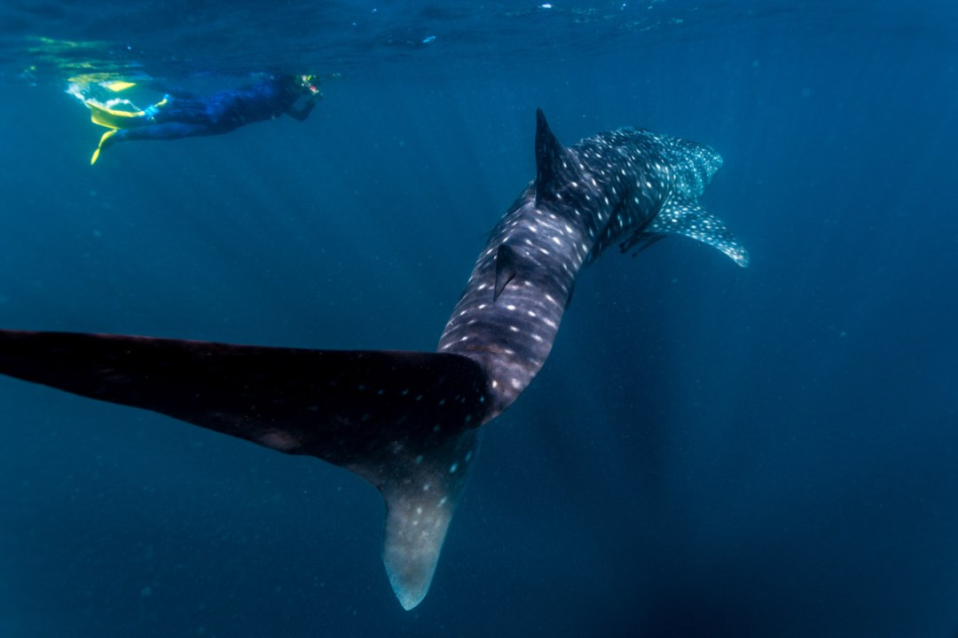 Swimming with Whale sharks Ningaloo Australia