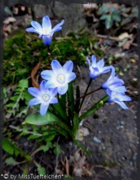 Chionodoxa luciliae - Schneeglanz1.2.