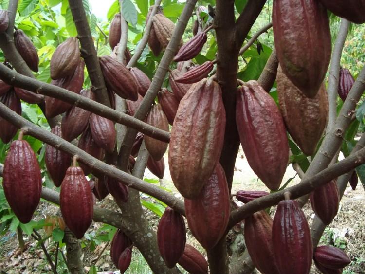Kakao - Mister Exportir