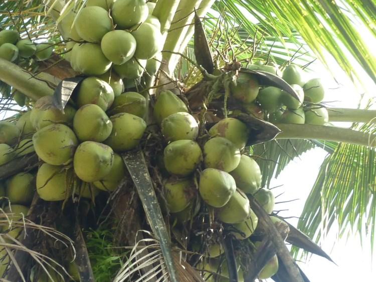 Kelapa Asal Aceh