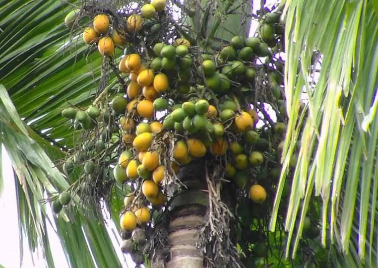 Pinang Asal Aceh