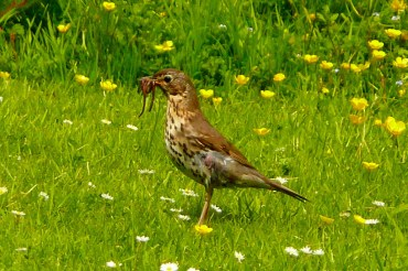 a thrush with a worm