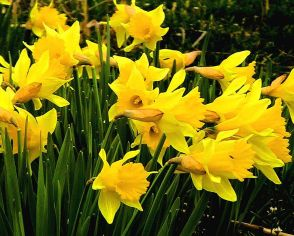 Daffodils_flowering pub domain