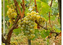 Grapes Chardonnay