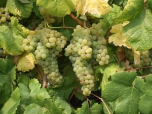 grapes loureiro white vinho verde