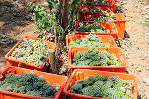 The grapes of the harvest in boxes