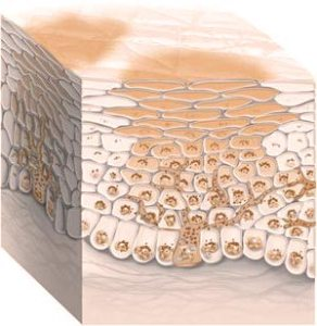 the melanin producing cells