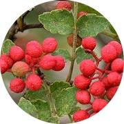 Zanthoxylum Piperitum Fruit Extract