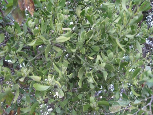 Real Mistletoe | Fresh Harvested Texas Mistletoe
