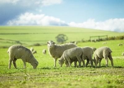 羊の持つスピリチュアルな5つの意味!豊かさ・深く考えるなど宗教や神話での6つの意味を合わせてヒーリング経験のある筆者が解説