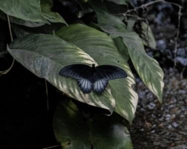 黒い蝶の持つスピリチュアルな意味6選!不吉?それとも吉兆?黒い蝶が運ぶメッセージを精神世界を研究する筆者が徹底解説!