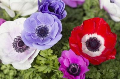 アネモネの持つスピリチュアルな意味7選!アネモネの花が贈る霊的メッセージを精神世界を研究する筆者がやさしく解説
