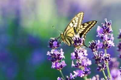 アゲハ蝶の持つスピリチュアルな12の意味!家・2匹・黒・オレンジなど状況別にヒーリング経験のある筆者が解説