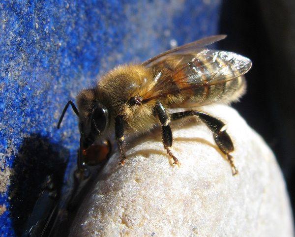 Bee drinking from a bird bath