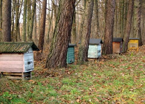 bialowieza honeybees