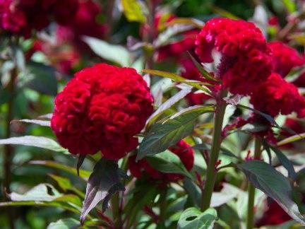 Red Flower2