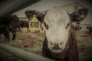 cow waiting to die