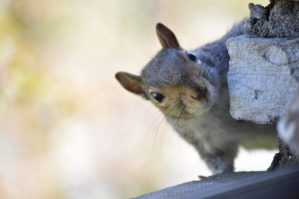Squirrel peaking around a corner
