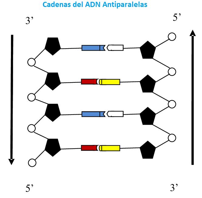 Adn ácido Desoxirribonucleico Qué Es Características
