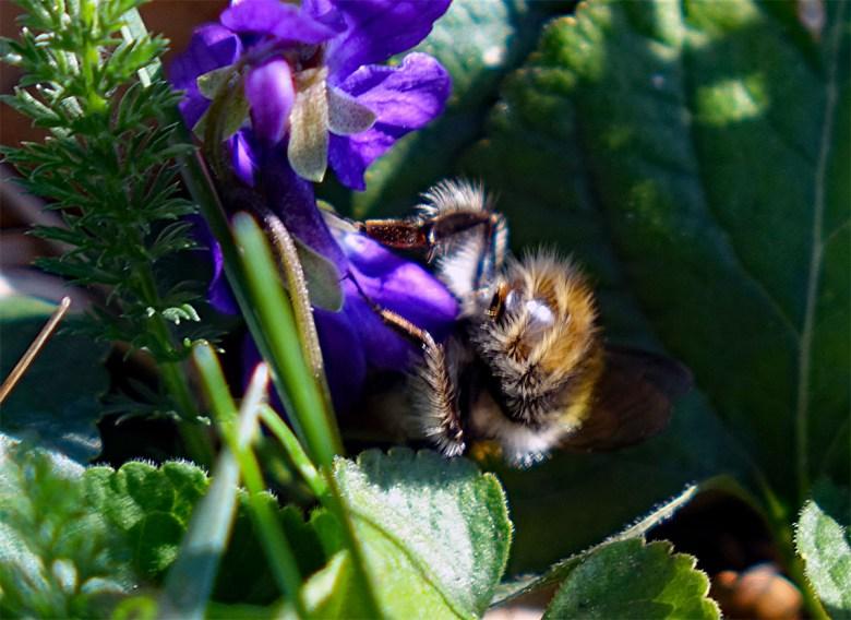 Biene auf Blüte im Eibachgrund bei Hilpoltstein