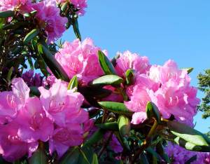 Photo of Rhododendron in Bloom atop Roan Mountain