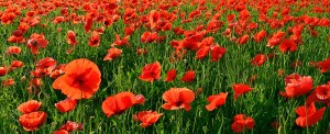 in-flanders-fields-the-poppies-blow