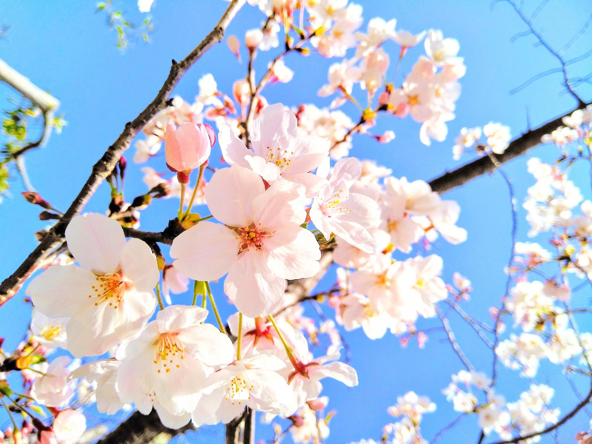 開花日的中で買い物券 川越名店街が桜開花予想SNSキャンペーン