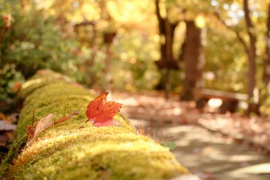 Maple leaf on moss covered wall at Lord Stirling Park in Basking Ridge, NJ