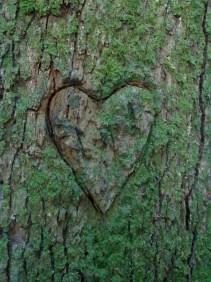 Herz eingeritzt in einen Baum Eiche