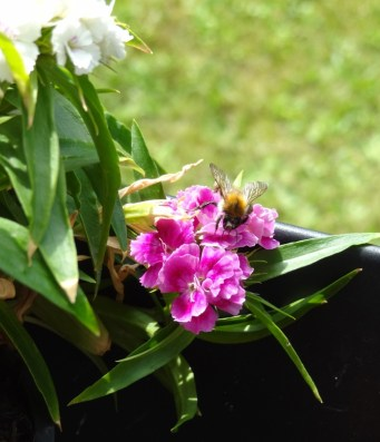 Wildbiene auf den Bartnelken auf meinem Balkon