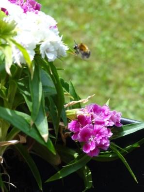 Wildbiene im Flug
