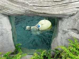 Das Eisbärenmädchen Lale spielt im Wasser.