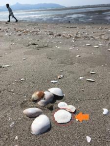 スカシカシパン・見つけた貝たち