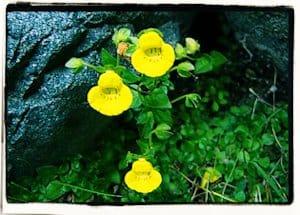 El origen de las flores doradas