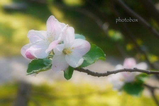 ニュートンのリンゴの木