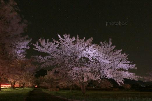 """F8 ・ 25"""" ・ ISO1000 JPEGを明るく加工 10~15秒ほど懐中電灯でゆらゆらと桜を満遍なく照らしながら撮影。ダンプが通ってテールランプが写り込む。これもまたよし。"""