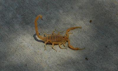 El escorpión de fray Anselmo