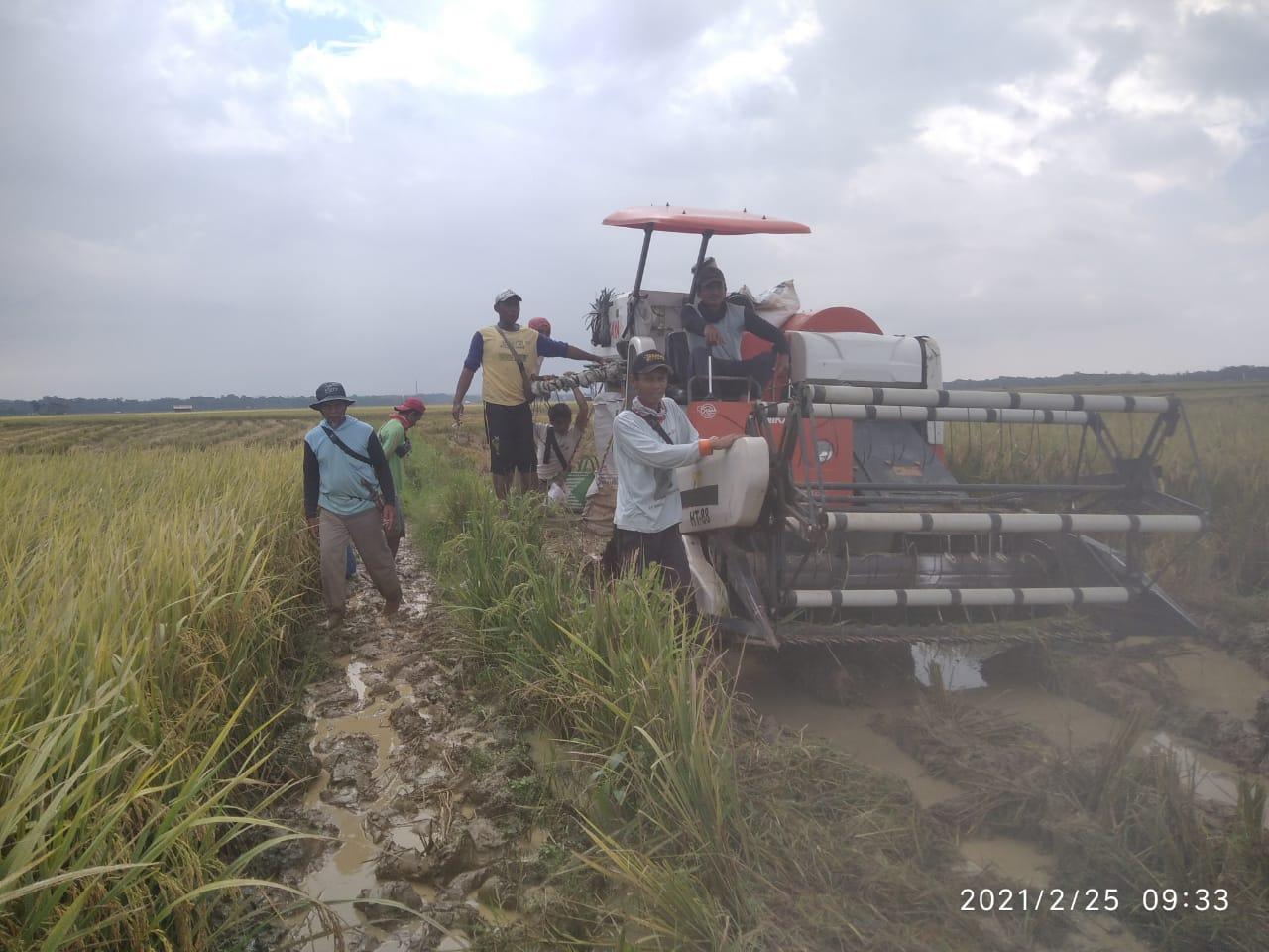 Gambar Panen Raya Padi, Petani Cikeusik Sampaikan Terimakasih Kepada Distan Banten 1