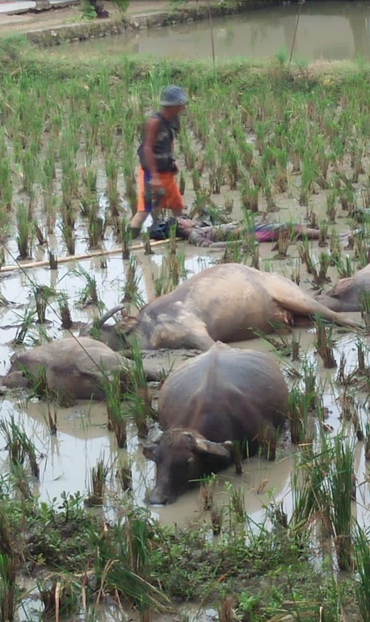 Gambar Diduga Akibat Tersengat Arus Listrik, Seorang Pengembala dan 5 Ekor Kerbau Tergeletak Tewas Di Sawah 17