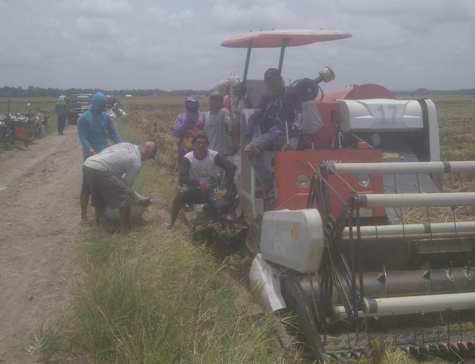 Gambar Panen Padi MT-3, Petani Padi Pandeglang Bersama Distan Banten Tekan Biaya Produksi 1
