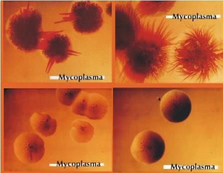 Struktur bakteri M. gallisepticum