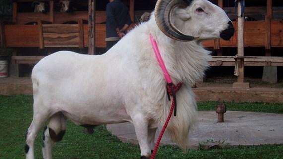 Sifat-sifat Kualitatif Domba Garut Jantan Tipe Tangkas