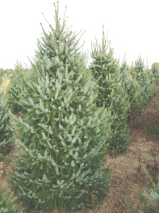 serbian spruce