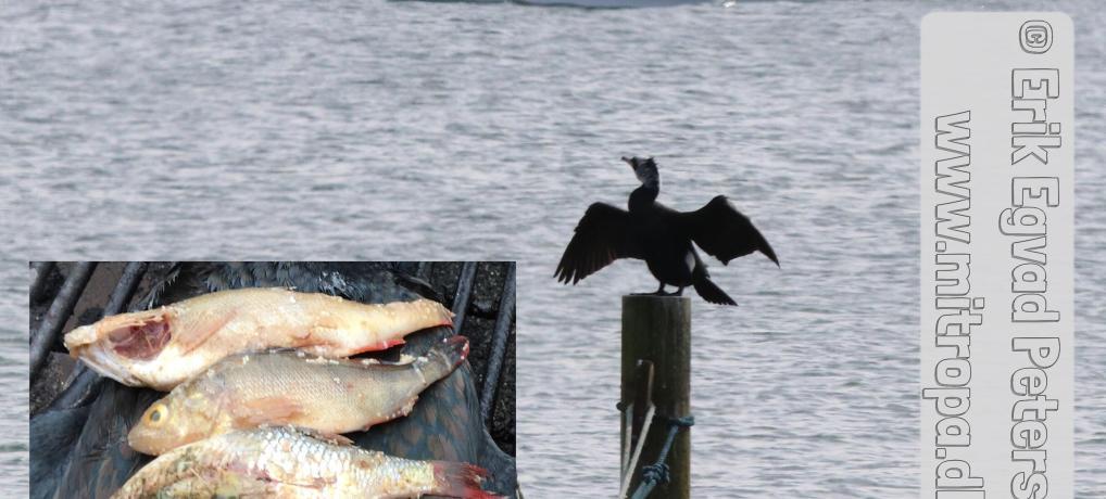 Skarven æder 20 tons fisk om dagen i Danmark