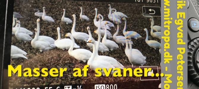 Masser af svaner – Rig På Tur…