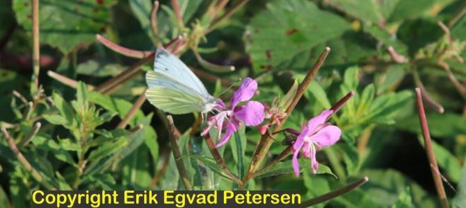 HEDEBØLGEN – lokker insekterne frem