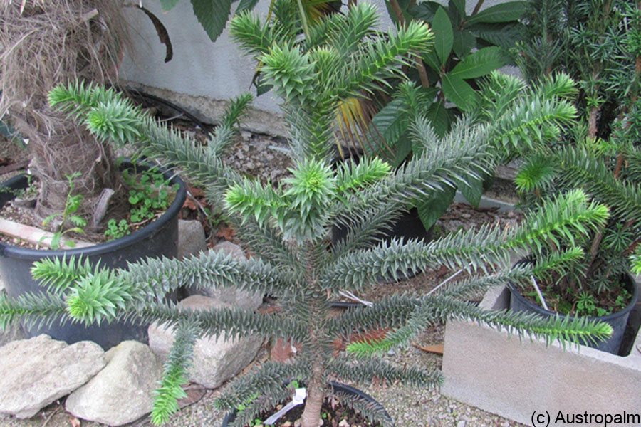 Chilenische Andentanne (Araucaria araucana)