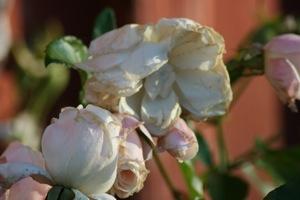 Vissnande rosor om hösten är så härligt dekadenta.
